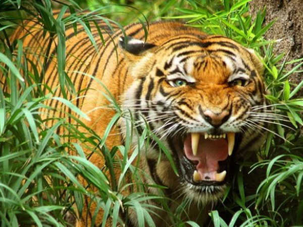 Mơ thấy hổ là điềm lành hay dữ, đánh con số nào may mắn?