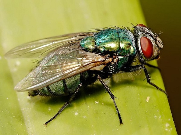 Mơ thấy con ruồi có điềm báo gì? đánh số gì?