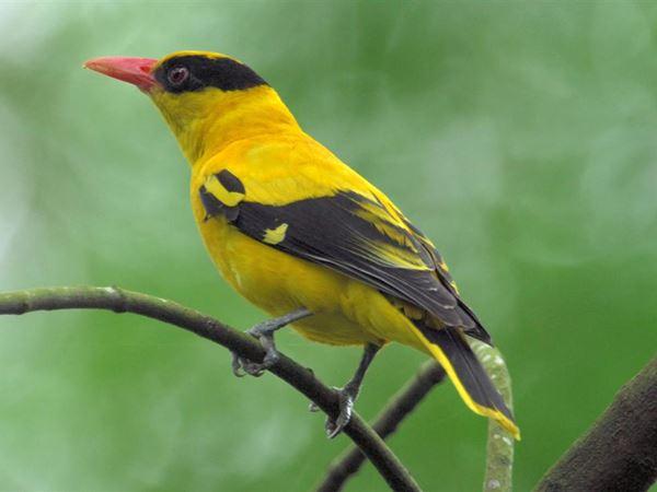Mơ thấy chim vàng anh đánh liền tay cặp số nào đổi đời?