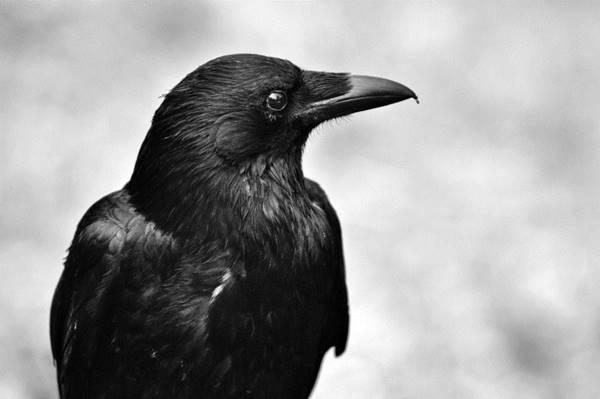 Nằm mơ thấy quạ đen đánh con gì đánh số mấy