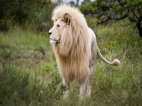 Nằm mơ thấy sư tử là điềm hung hay cát ? Đánh số mấy trúng ?