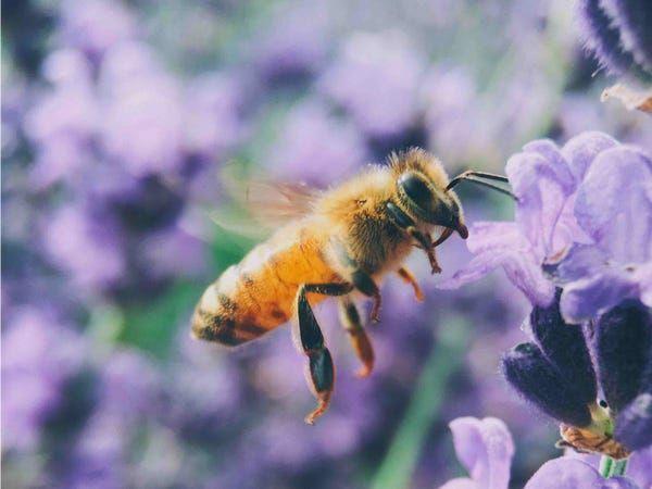 Mơ thấy ong điềm báo lành hay dữ?