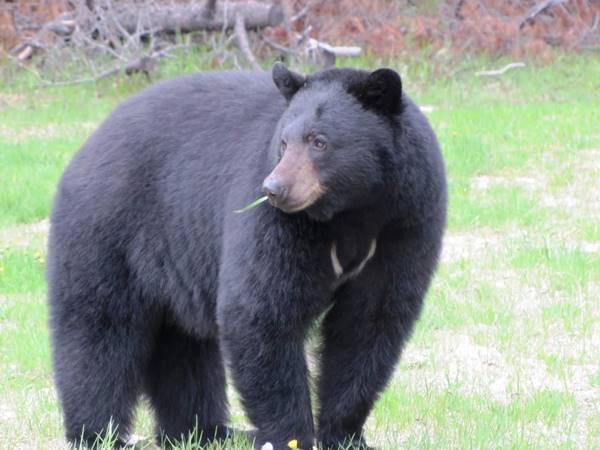 Nằm mơ thấy gấu? Điềm báo giấc mơ đánh con gì