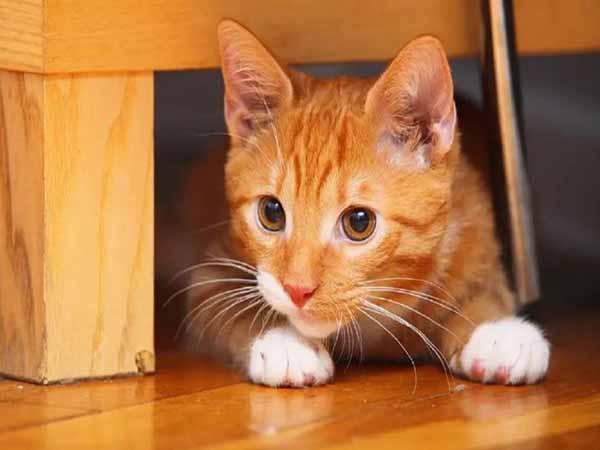 Nằm mơ thấy mèo vàng có điềm báo gì, đánh con gì ăn chắc