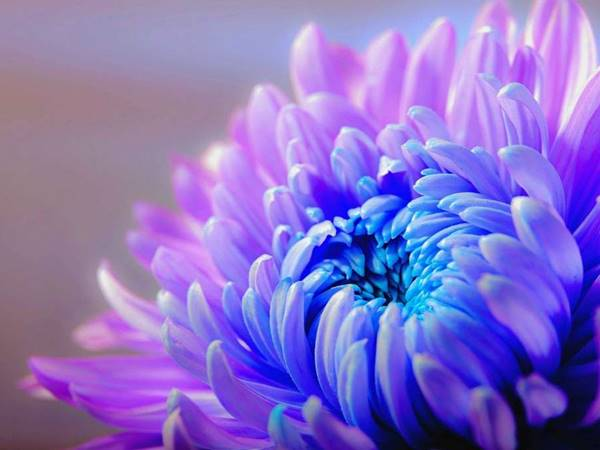 Nằm mơ thấy hoa cúc đánh con gì? Điềm báo giấc mơ